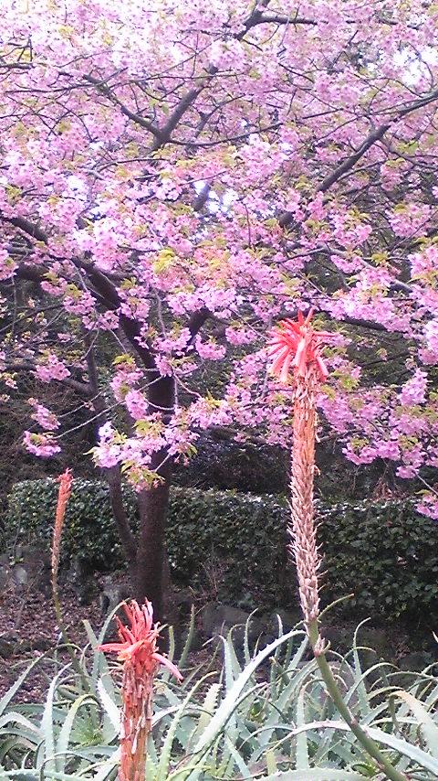 河津桜と伊豆の踊り子